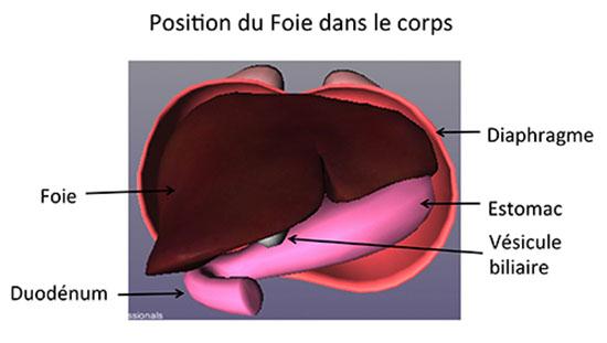 organe cote droit corps humain