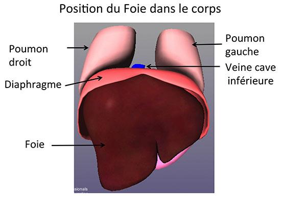 Hervorragend Anatomie du Foie et des Voies biliaires - CHB - Hôpital Paul  GM14