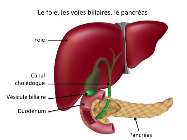 Top Anatomie du Foie et des Voies biliaires - CHB - Hôpital Paul  VZ92