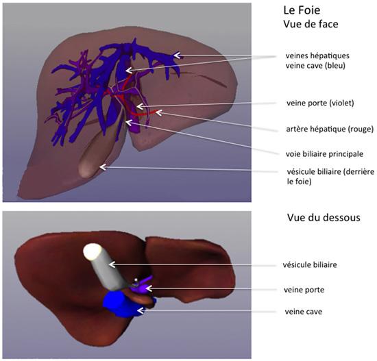 Cancer de la vésicule biliaire | Centre Hépato-Biliaire Paul ...